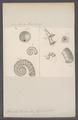 Spirula peronii - - Print - Iconographia Zoologica - Special Collections University of Amsterdam - UBAINV0274 090 09 0003.tif