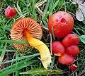 Splendid Waxcap . Hygocybe splendidissima (49055264607).jpg