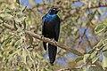 Splendid starling (Lamprotornis splendidus splendidus).jpg