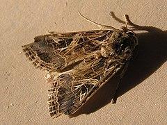 Spodoptera littoralis.JPG