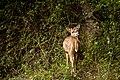 Spotted-deer(Female).jpg