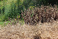 Sprayed weeds.jpg