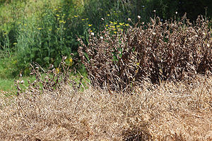 Weeds killed with herbicide