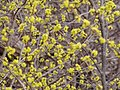 Spring buds P4100098.JPG