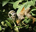Squirrel monkey hanging by its tail (4233056937).jpg