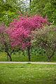 Stadtpark Graz - Blühende Kirsche.jpg
