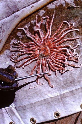 Labidiaster annulatus - Labidiaster annulatus from the Antarctic Peninsula