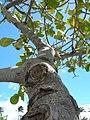 Starr-060922-9160-Clusia rosea-canopy and sky-Kahului Airport-Maui (24238901423).jpg