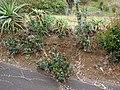 Starr-090430-6715-Ilex aquifolium-habit-Kula-Maui (24926911156).jpg