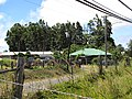 Starr-090609-0420-Lophostemon confertus-wind break planted 50 years ago-Kokomo Haiku-Maui (24845471382).jpg