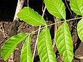 Starr-090714-2837-Swietenia macrophylla-leaves-Honokahau Valley-Maui (24941926896).jpg