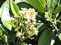 Starr-090721-3233-Pimenta dioica-flowers and leaves-Wailuku Heights-Maui (24852445492).jpg