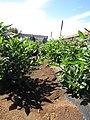 Starr-091020-8379-Solanum muricatum-habit-Kula Experiment Station-Maui (24893162511).jpg
