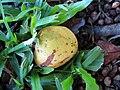 Starr-091104-0823-Artocarpus lingnanensis-fruit on ground-Kahanu Gardens NTBG Kaeleku Hana-Maui (24961350856).jpg