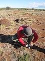 Starr-091222-1000-Boerhavia sp-habit with Jamie-Kealaikahiki-Kahoolawe (24874986642).jpg