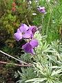 Starr-110307-2069-Erysimum linifolium-flowers-Kula Botanical Garden-Maui (24446867234).jpg