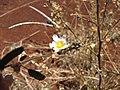 Starr-110412-5125-Sida rhombifolia-flower-Kahana West Maui-Maui (24787163910).jpg