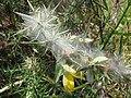 Starr-110531-5969-Ulex europaeus-habit with mite webbing biocontrol-Piiholo-Maui (24465675494).jpg