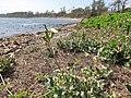 Starr-120412-4610-Sonchus oleraceus-habit-Waihee Coastal Preserve-Maui (24508655414).jpg