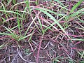 Starr-120620-7476-Cenchrus purpureus-local napier grass seedlings-Kula Agriculture Station-Maui (24515080474).jpg