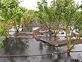 Starr-120620-7538-Jatropha curcas-biofuel trial plantings-Kula Agriculture Park-Maui (25119515196).jpg