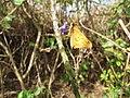 Starr-130321-3598-Lantana camara-flowers with fiery skipper butterfly Hylephila phyleus-Crater Hill Kilauea Pt NWR-Kauai (24841727739).jpg