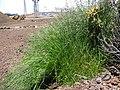Starr-130514-2106-Poa pratensis-lush habit in runoff spot-Science City-Maui (25117619991).jpg