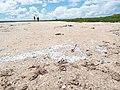 Starr-130910-0719-Cyperus laevigatus-habitat with plastic debris flotsam line-Lake-Laysan (24854951349).jpg