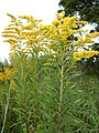 Starr-140930-2074-Solidago canadensis-flowers and leaves-Keokea-Maui (24951206560).jpg