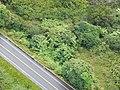 Starr-141014-2251-Caesalpinia decapetala-aerial view Hana Hwy-Kakipi Gulch Haiku-Maui (25221047606).jpg