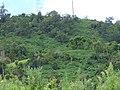 Starr-150804-0359-Montanoa hibiscifolia-thick habit in understory-Puu Mahoe Ulupalakua-Maui (25294989485).jpg