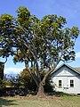 Starr 010330-0584 Schefflera actinophylla.jpg
