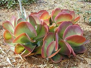 <i>Kalanchoe thyrsiflora</i> species of plant