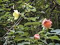 Starr 020803-0105 Hibiscus tiliaceus.jpg
