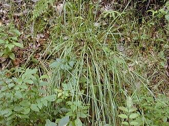 Paspalum scrobiculatum - Image: Starr 030405 0044 Paspalum scrobiculatum
