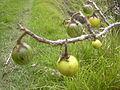 Starr 030628-0060 Solanum linnaeanum.jpg