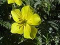 Starr 040331-0244 Tribulus cistoides.jpg