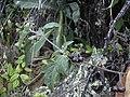 Starr 040723-0317 Solanum americanum.jpg