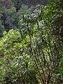 Starr 041113-0648 Pleomele auwahiensis.jpg