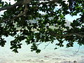 Starr 050419-0336 Terminalia catappa.jpg