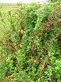 Starr 051122-5358 Asparagus asparagoides.jpg