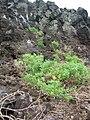 Starr 060228-8876 Chenopodium oahuense.jpg