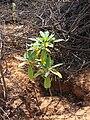 Starr 061129-1717 Rauvolfia sandwicensis.jpg