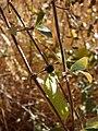 Starr 071225-0696 Lonicera japonica.jpg