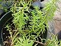 Starr 080117-1655 Unknown crassulaceae.jpg