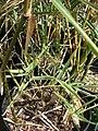 Starr 080117-2048 Bambusa glaucophylla.jpg