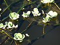 Starr 080220-3059 Pistia stratiotes.jpg