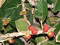Starr 080305-3284 Ficus benghalensis.jpg