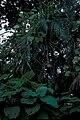 Starr 981208-2629 Pueraria montana var. lobata.jpg