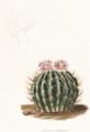 Stenocactus coptonogonus Lem.png